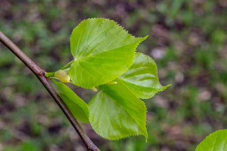Spring, the young leaves of lime trees. Just blossomed tender leaves.