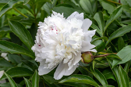 Blooming white peonies. Garden Bush of white peonies. Fluffy, disheveled, white flowers.
