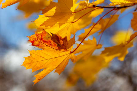 Glowing yellow autumn leaves on blue sky background. Bright autumn background