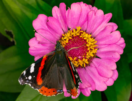 Admiral butterfly on a flower. Beautiful butterfly eating nectar.