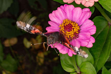 Flying up from the flower Admiral. The butterfly, a dynamic macro-scene