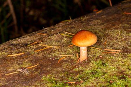 Sawdust, summer sawdust (Kuehneromyces lignicola). Edible mushroom. Mushrooms growing on trees.