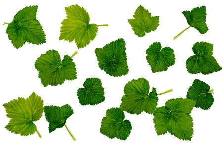 Leaves of currant, currant red, set of leaves, leaves on white background, isolate, Herbology