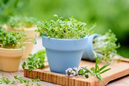 oregano plant: herbal garden