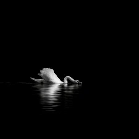 zwarte zwaan Stockfoto