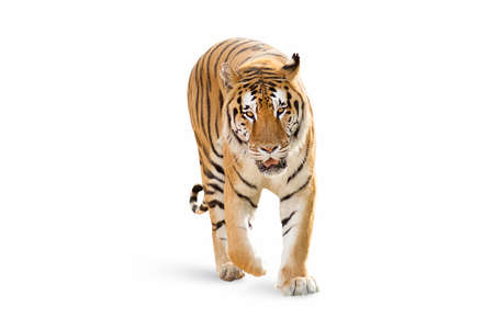 isolated Tiger on white background 스톡 콘텐츠