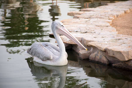 pelican bird swimming in lake with reflection on water Stock Photo