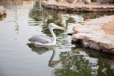 gray pelican standup in stone Stock Photo