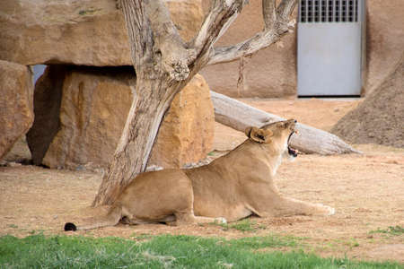 The lioness resting and yawning under the tree.