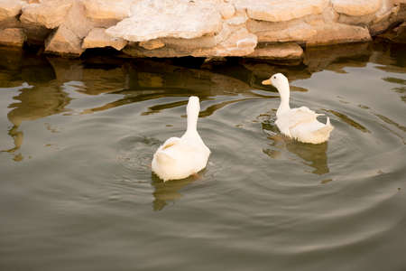 white ducks swimming on lake