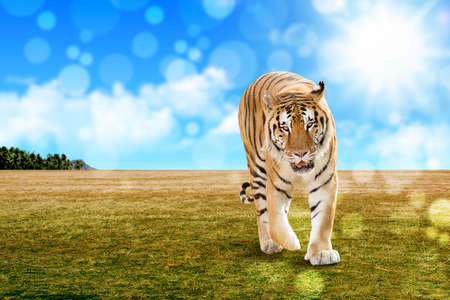 Royal Bengal tiger in a natural confinement with shinny background