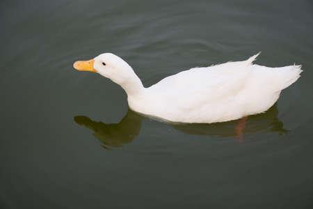 white duck swimming on lake Stock Photo