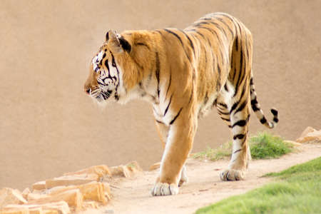 Royal Bengal tiger in a natural confinement