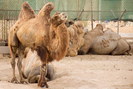 camels with two hump