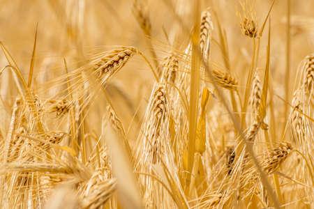 closeup to fresh barley grain