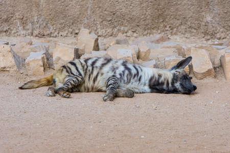 Sleeping Brown Hyena, striped Hyena