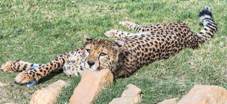Cheetah in natural habitat, stretched