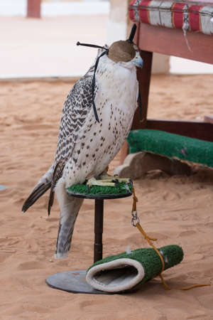 Arabian falcon with head cover Stock Photo - 104087837