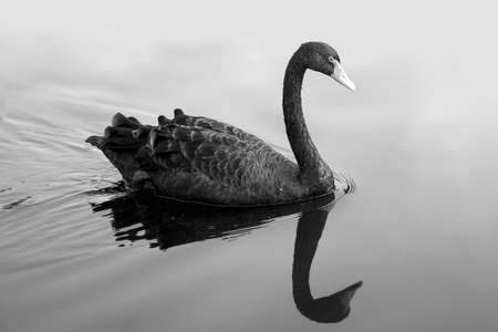 black swan in fog, A black swan swimming on a pool of blue water