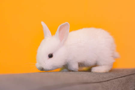 white bunny rabbit looking to viewer, Little bunny sitting outside, Lovely pet for children and family inside hou
