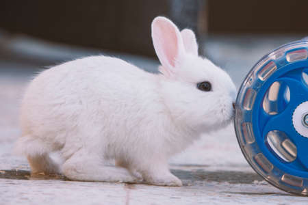 white bunny rabbit push the cart wheel, Little bunny sitting outside, Lovely pet for children and family house Stock Photo