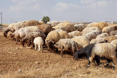 brown sheep in Jordan eating dried grass Stock Photo