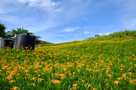 A field of orange daylily in summer Stock Photo