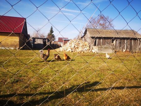 Hens behind the a netting Rabitz, against the backdrop of village huts and blue sky