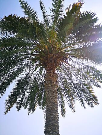 A palm tree in the UAE against a backdrop of unpaid blue sky. Warm winter in the UAE.