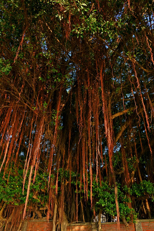 Les racines aériennes de l'arbre de banian Banque d'images