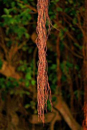 Aerial roots of the banyan tree Stock Photo