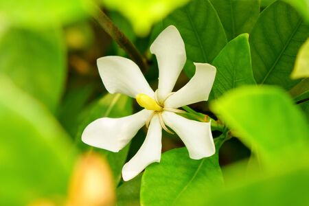 Cape Jasmine with green leaves Stock Photo