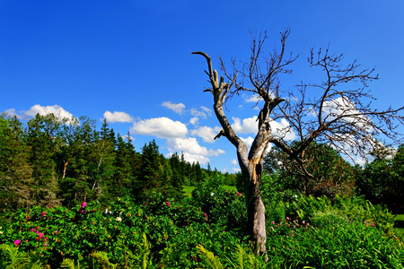 Withered tree with blue sky in the garden Stock Photo
