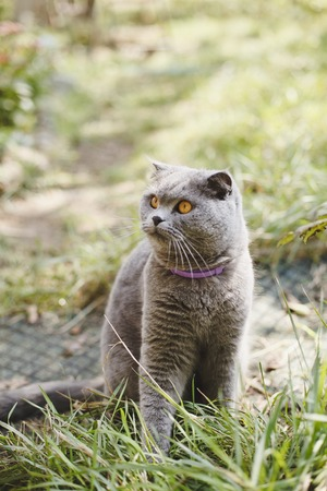 Happy Scottish Fold cat of blue-gray color in the courtyard. Stock fotó