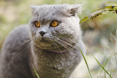 Beautiful portrait Scottish Fold cat of gray color in the courtyard.