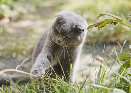 Beautiful playful Scottish Fold cat of blue-gray color in the yard.