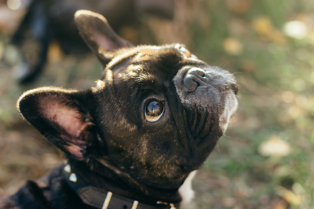 Happy, curious dog French Bulldog. Beautiful portrait of purebred dog.
