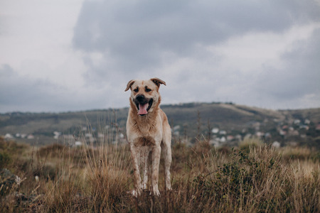 A large mixed breed dog walking outside. Curious dog looking at the camera. Curious dog looks at the camera. Homeless mongrels are waiting for a new owner.