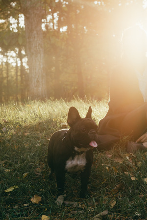 Beautiful Sunny photo of a happy, curious French bulldog dog. Dog on a walk in the Park. Portrait of purebred dog.