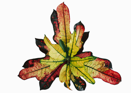 Codiaeum variegatum garden Croton or variegated Croton foliage with flowers. Multicolored variegated leaves of the plant isolated on a white background. Banco de Imagens