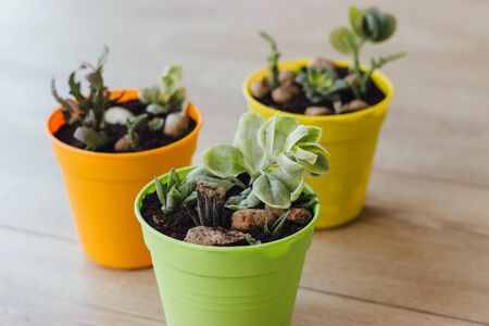 Succulents and cacti in colorful pots on the wooden floor. Three bright pots with small plants. Selective focus.
