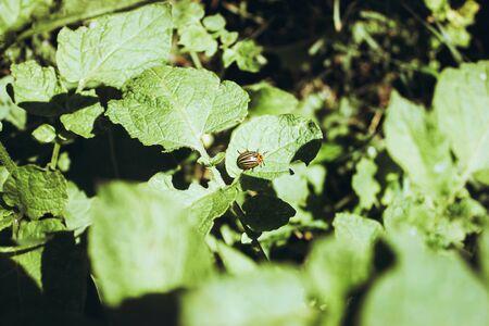 Macro photo of pests Colorado potato beetle. The Colorado potato striped beetle sitting on a cucumber leaf. Selective focus. Stok Fotoğraf