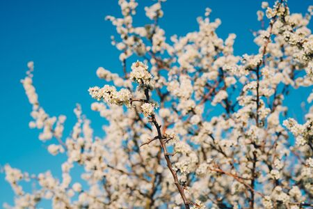 A flowering tree against a blue sky. Beautiful spring flowering tree in the garden.
