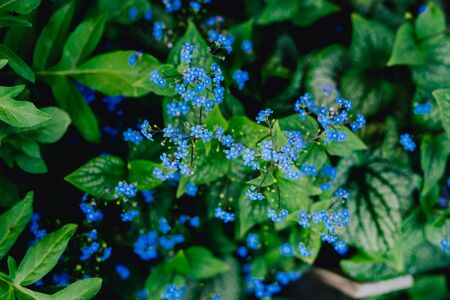 Blue flowers brunera. Blue flowering brunera perennial ground cover plant.