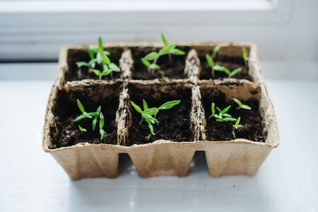 The seedling of tomatoes on the windowsill in the apartment. Sprouted tomato seeds. Green sprouts in peat pots on the windowsill.