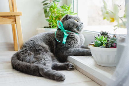 The cat lies on the floor among the flower pots and looks out the window. Scottish fold cat is blue.