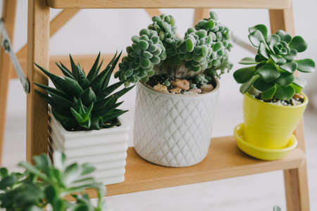 Three beautiful room succulents on a wooden shelf. Banco de Imagens
