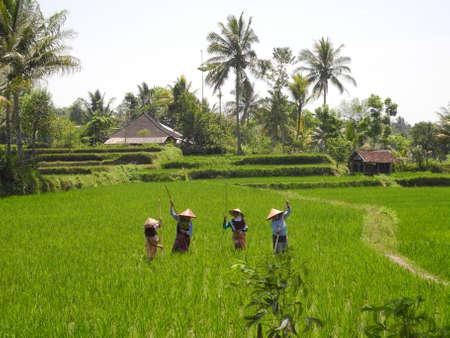 lombok: Rice plantation, Lombok, Indonesia