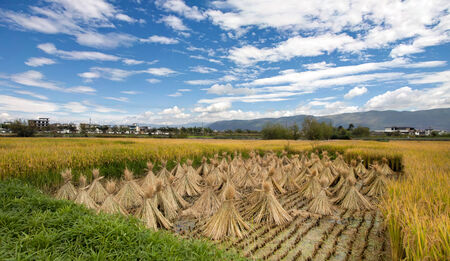 haymow: Cropped rice on the rice field next to green and yellow plants Stock Photo