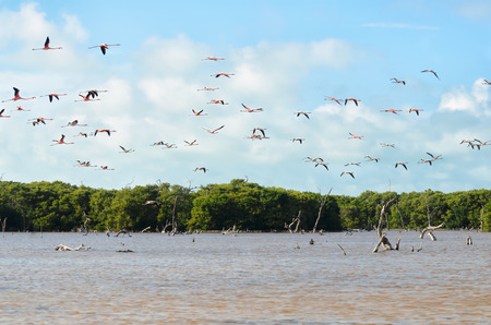 Flying pink flamingos above lagoon and mangrove forest